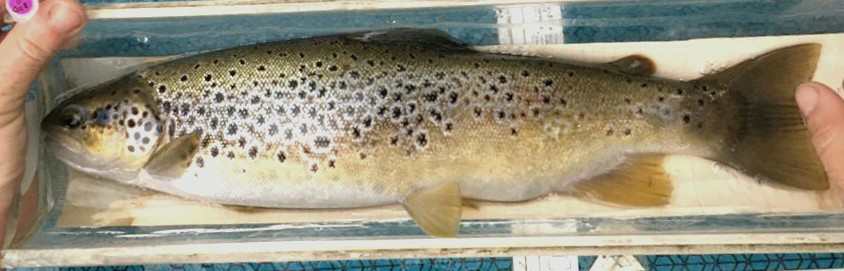 The circles of deposition of the scales in the trout